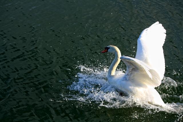 水面下でバタバタする白鳥
